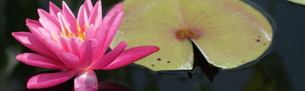 pink water lily at the arboretum